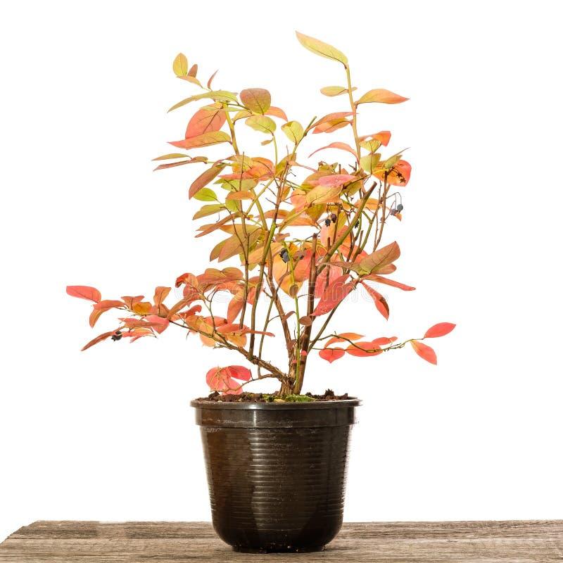 Pianta del mirtillo in un vaso con colore rosso di autunno fotografie stock libere da diritti