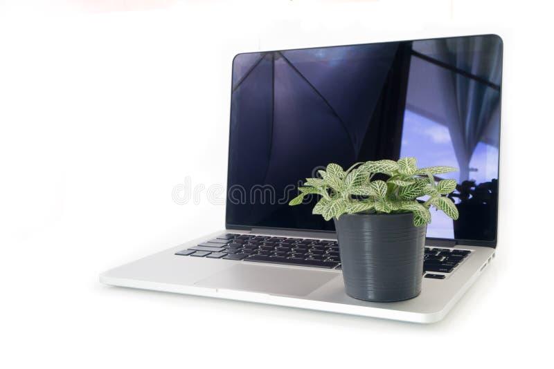 Pianta del nervo sul vaso da fiori sopra il computer portatile e il backgrou bianco isolato fotografie stock libere da diritti