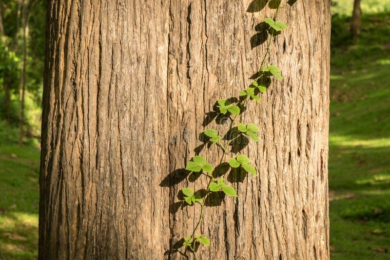 Pianta del parassita sull'albero del tek fotografie stock