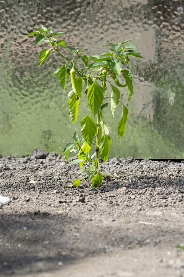 Pianta del peperone verde immagine stock libera da diritti