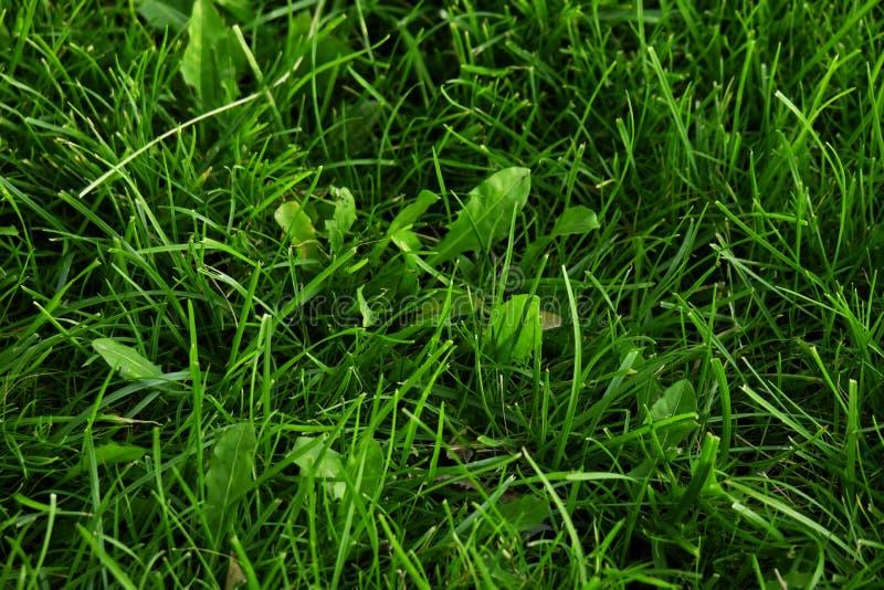 Pianta del plantano con la foglia verde nel plantano a foglia larga principale del Plantago dell'erba selvatica, nel piede dell'u fotografie stock