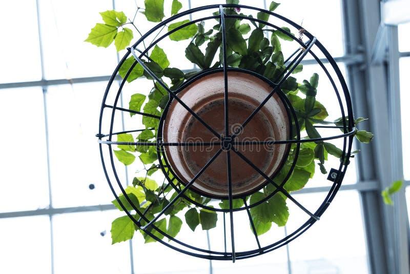 Pianta del rampicante in vaso di argilla e struttura circolare del ferro che pendono dal soffitto fotografia stock
