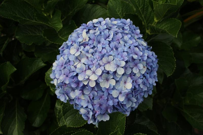 Pianta del rododendro e fiore blu - fiori di Matagalpa Nicaragua fotografia stock