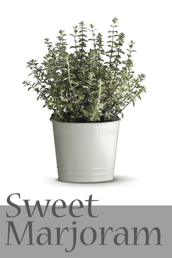 Pianta del timo in vaso fotografie stock libere da diritti