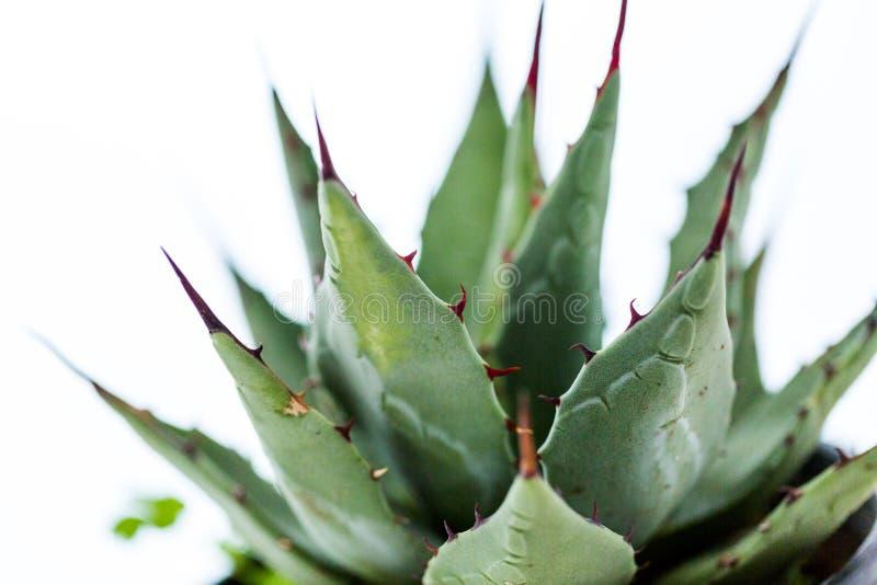 pianta dell'agave fotografie stock libere da diritti