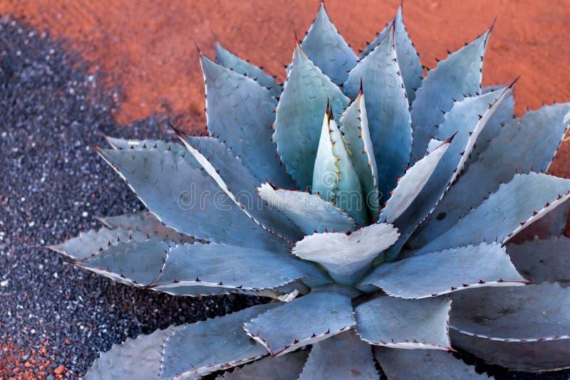Pianta dell'agave che cresce sulla sabbia rossa nel Marocco immagine stock