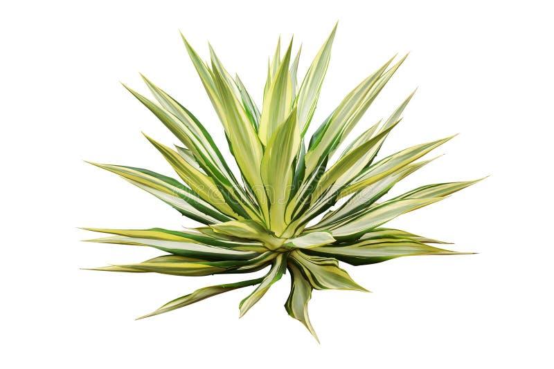 Pianta dell'agave isolata su priorità bassa bianca immagini stock libere da diritti