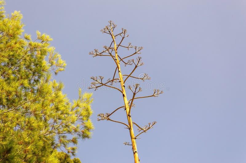 Pianta dell'agave sul litorale di Riviera francese fotografia stock libera da diritti