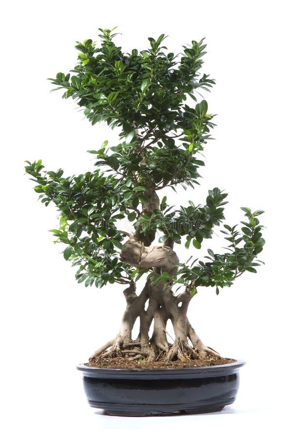 Pianta dell'albero dei bonsai fotografie stock libere da diritti