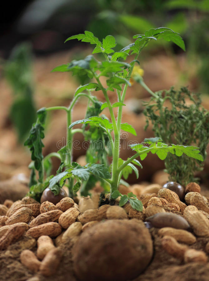 Pianta dell'arachide fotografia stock
