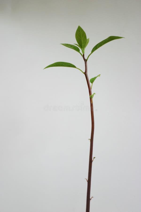 Pianta dell'avocado fotografie stock libere da diritti