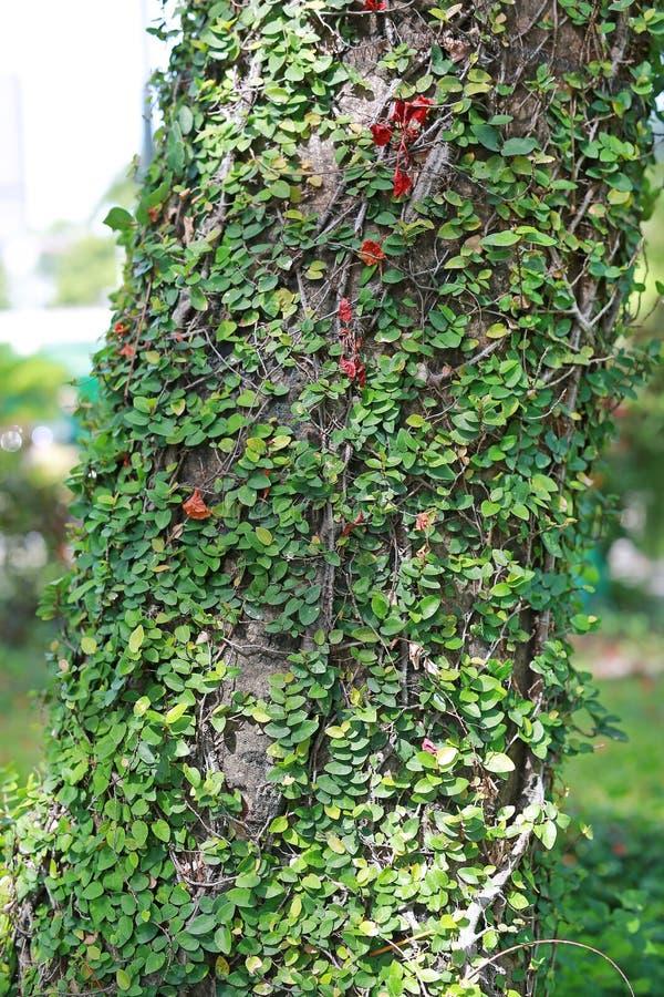 Pianta dell'edera che striscia e che cresce su un tronco di un albero Copertura del parassita alberi immagini stock libere da diritti
