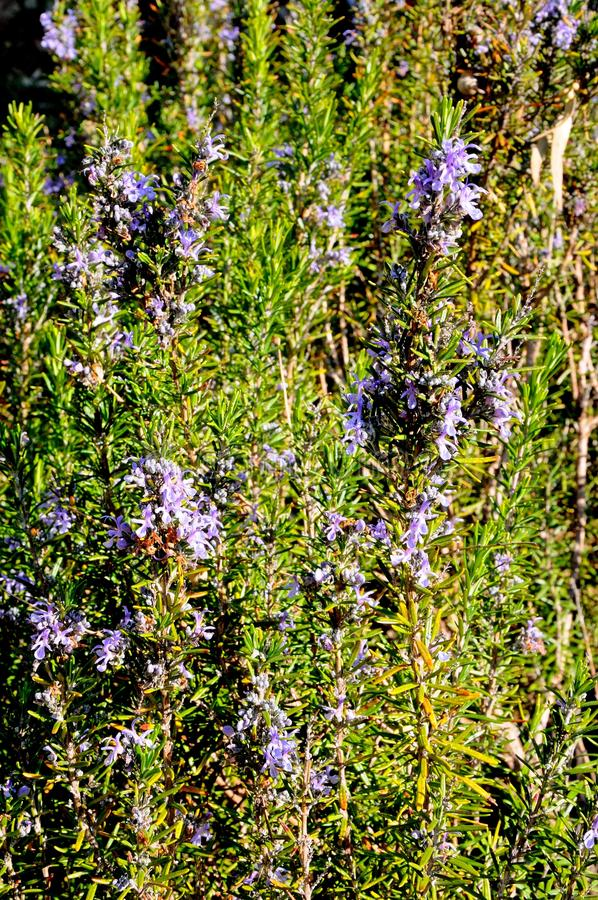 Download Pianta Dell'erba Dei Rosmarini In Fiore Fotografia Stock - Immagine di rosmarino, piante: 30830284