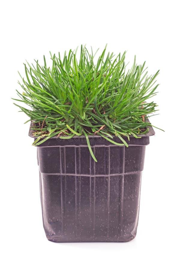 Pianta dell'erba della casetta isolata su bianco fotografie stock