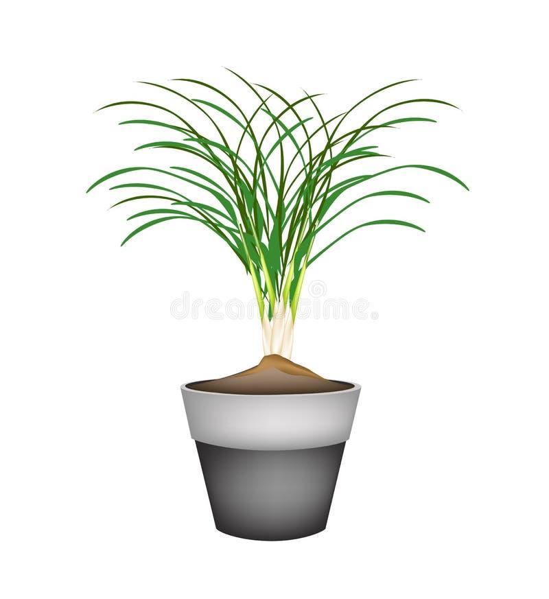Pianta della citronella in vasi da fiori ceramici for Vasi erba