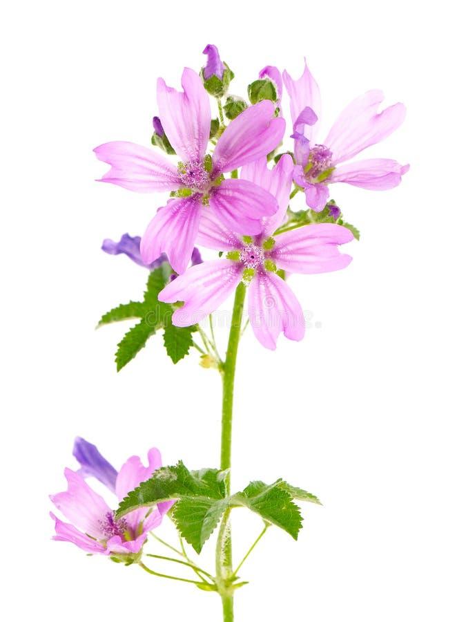 Pianta della malva comune con i fiori e le foglie rosa, sylvestris della malva fotografie stock