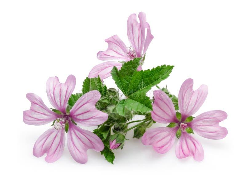 Pianta della malva con i fiori e le foglie fotografie stock libere da diritti