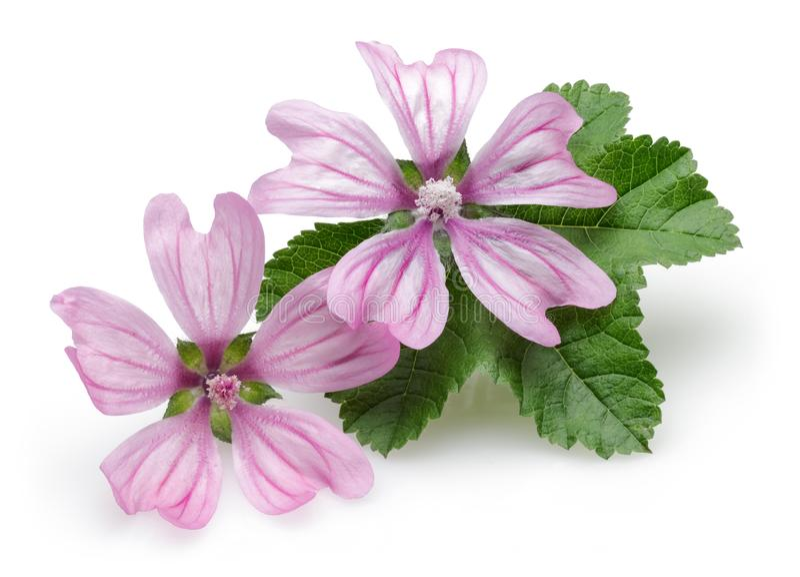 Pianta della malva con i fiori e le foglie immagine stock libera da diritti