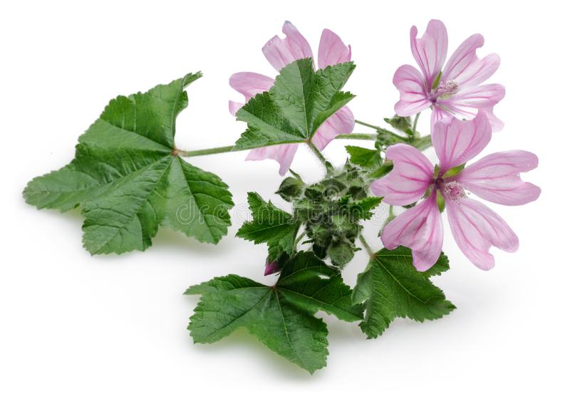 Pianta della malva con i fiori e le foglie isolati immagine stock