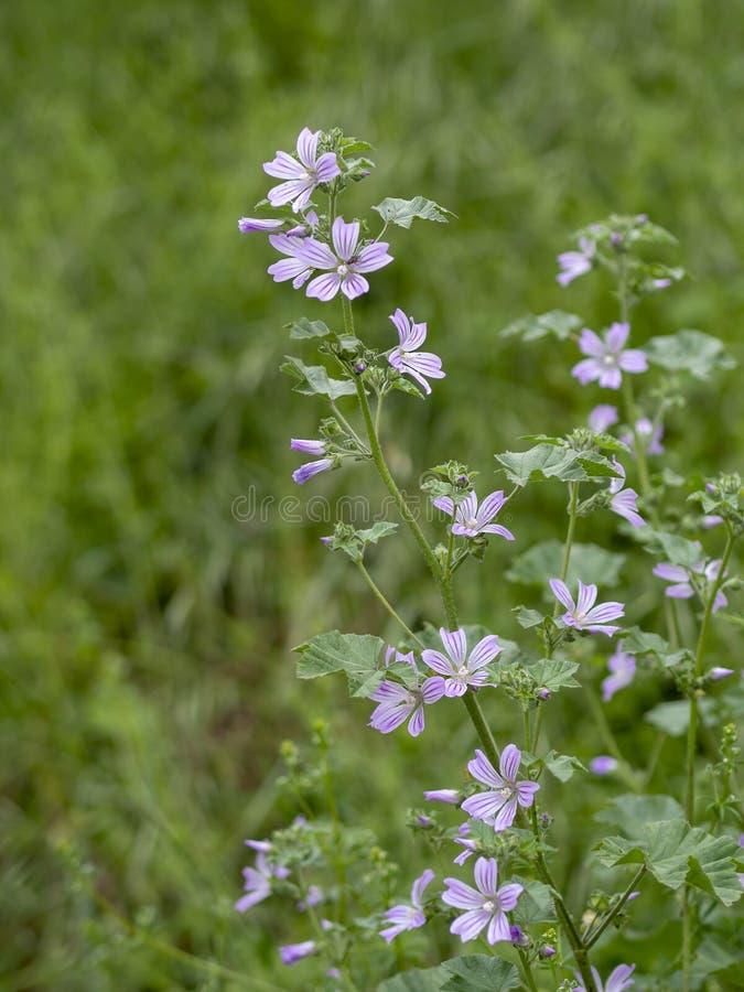 Pianta della malva di Comon, in fiore, silvestris della malva Erba medicinale fotografia stock