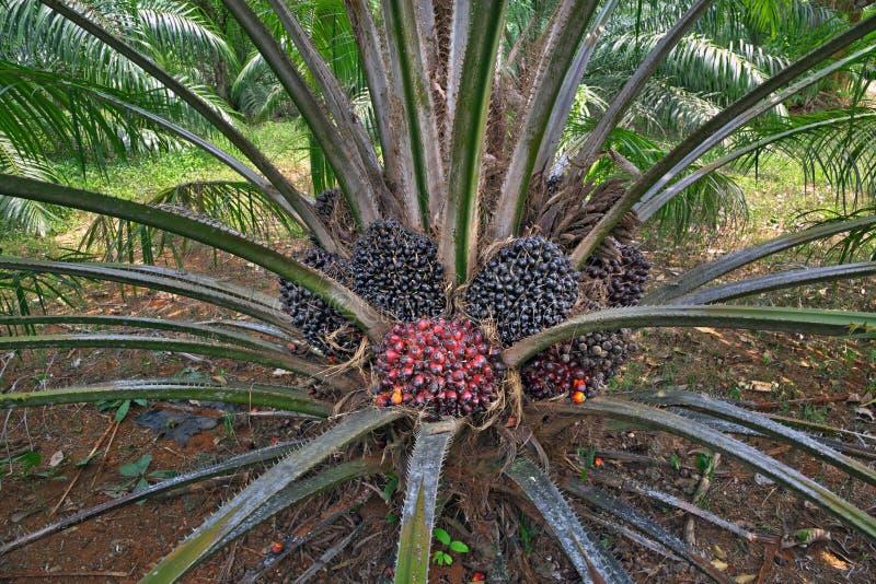 Pianta della palma da olio immagini stock
