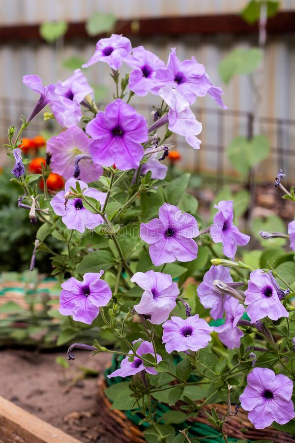 Pianta della petunia con i fiori lilla immagini stock