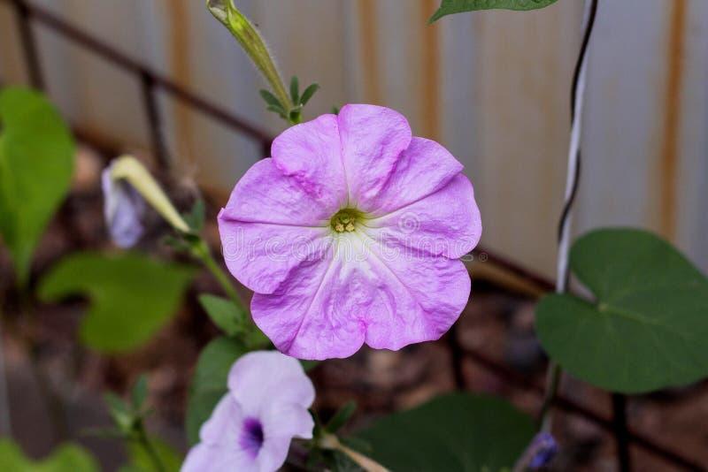 Pianta della petunia con i fiori lilla immagine stock