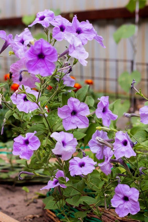 Pianta della petunia con i fiori lilla immagine stock libera da diritti