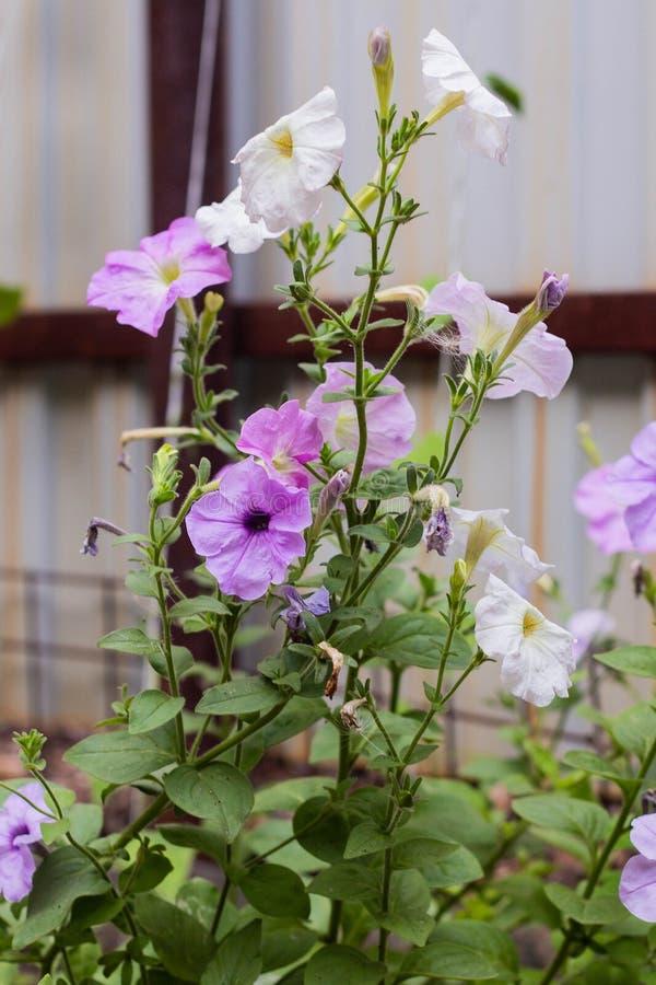 Pianta della petunia con i fiori lilla fotografia stock libera da diritti