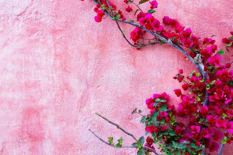 Pianta della rosa rossa contro il fondo rosa della parete immagine stock libera da diritti