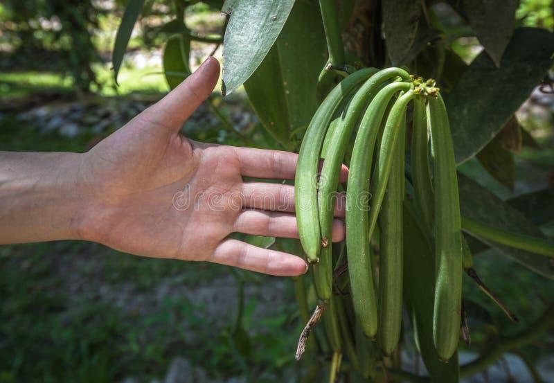 Pianta della vaniglia e baccelli verdi nella piantagione immagini stock libere da diritti