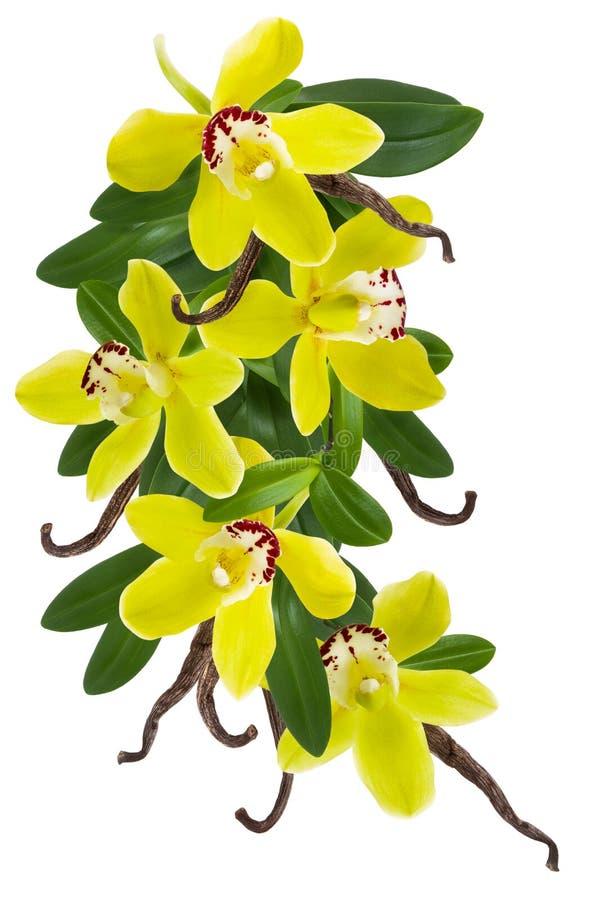 Pianta della vaniglia isolata su fondo bianco Fiore giallo dell'orchidea, bastone o fagiolo secco e struttura del collage delle f fotografia stock