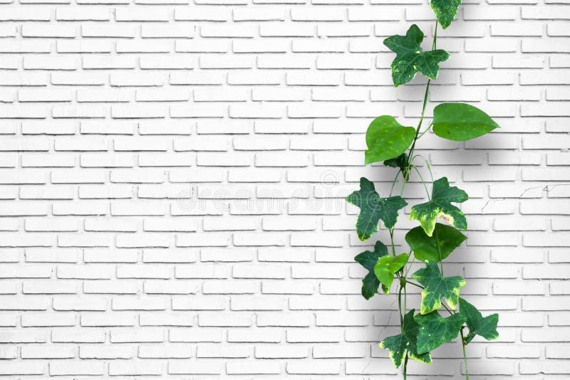 Pianta dello scalatore con il fondo bianco del muro di mattoni fotografia stock