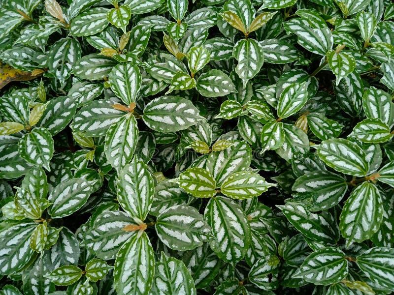 Pianta di alluminio, Pilea Cadierei, piante ornamentali di fioritura fotografie stock libere da diritti
