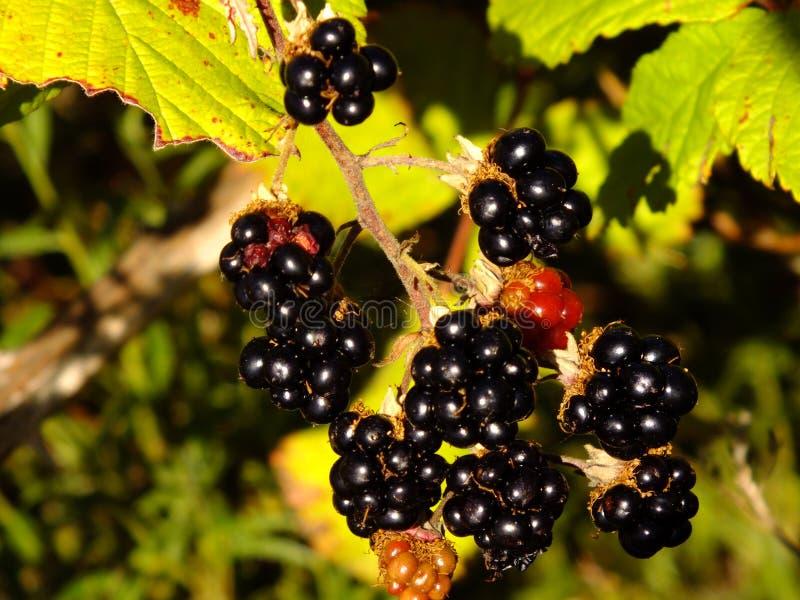 Pianta di Blackberry fotografie stock