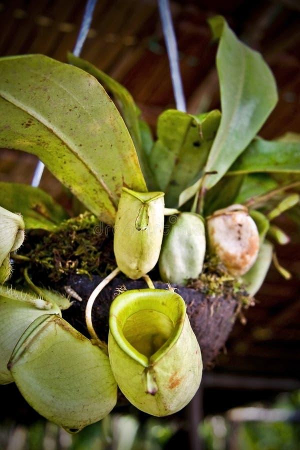 Pianta di brocca del Borneo immagini stock