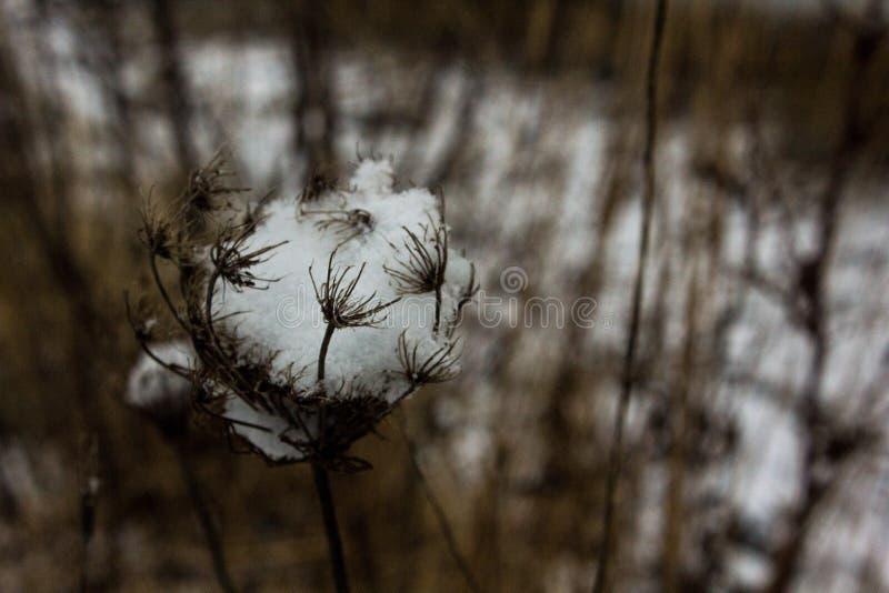 Pianta di Brown con neve fotografie stock libere da diritti