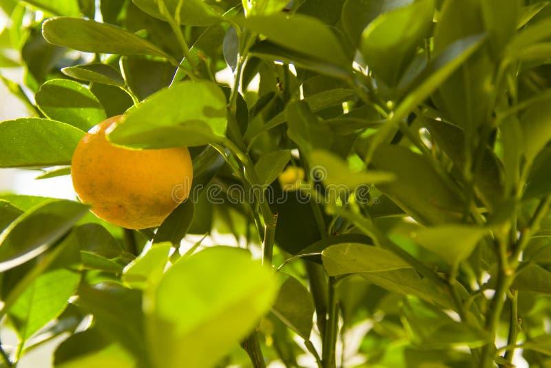 Pianta di Calamondino con frutta, maturante immagini stock libere da diritti