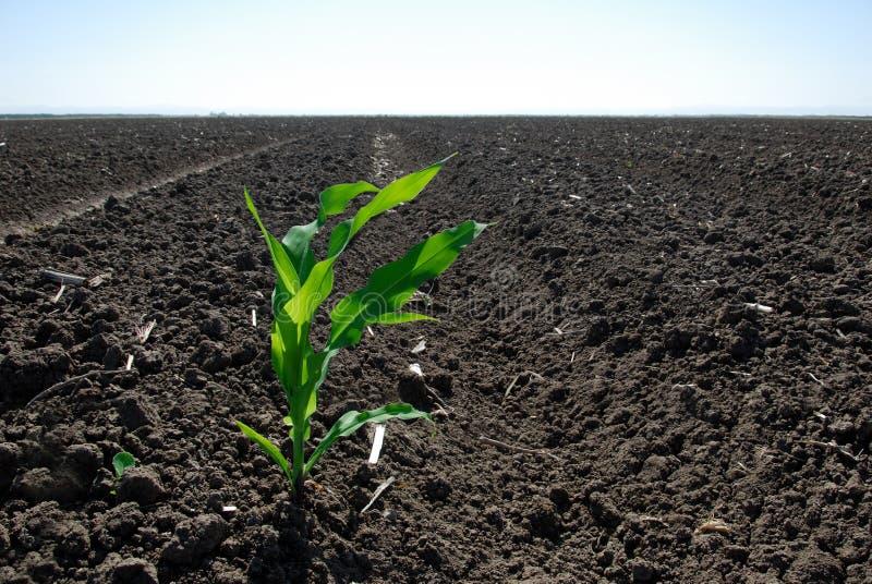 Pianta di cereale verde sola immagine stock libera da diritti