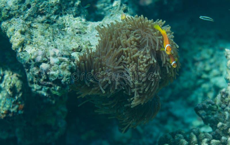 Pianta di corallo che cresce sulla roccia subacquea alle Maldive immagini stock