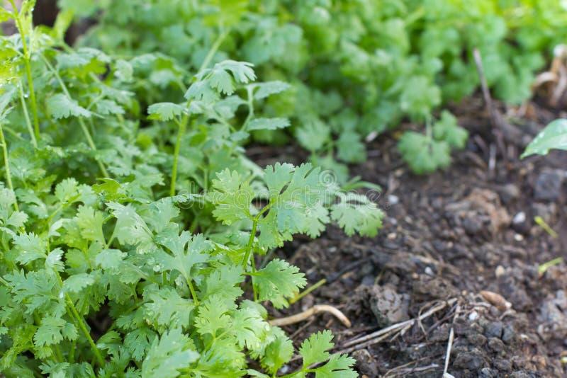Pianta di coriandolo sulla terra del suolo con goccia di acqua sulle foglie fotografie stock