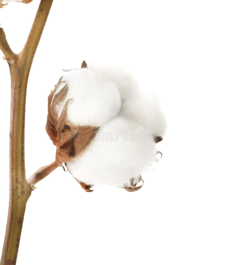 Pianta di cotone immagine stock libera da diritti
