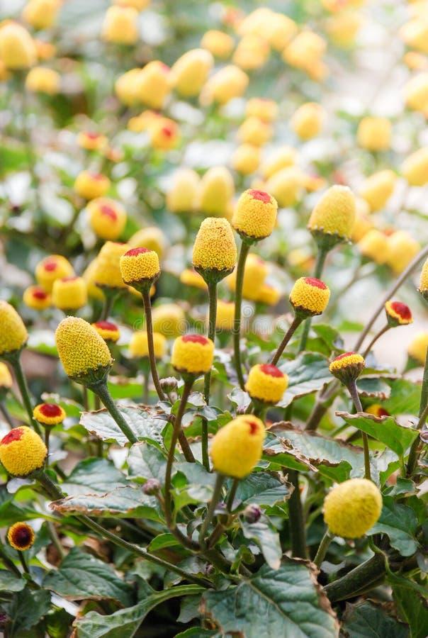 Pianta di crescione di fioritura fresca para, oleracea di spilanthes immagini stock
