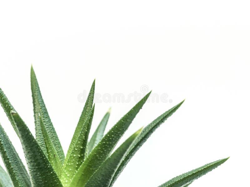 Pianta di deserto meravigliosa su fondo bianco fotografie stock libere da diritti