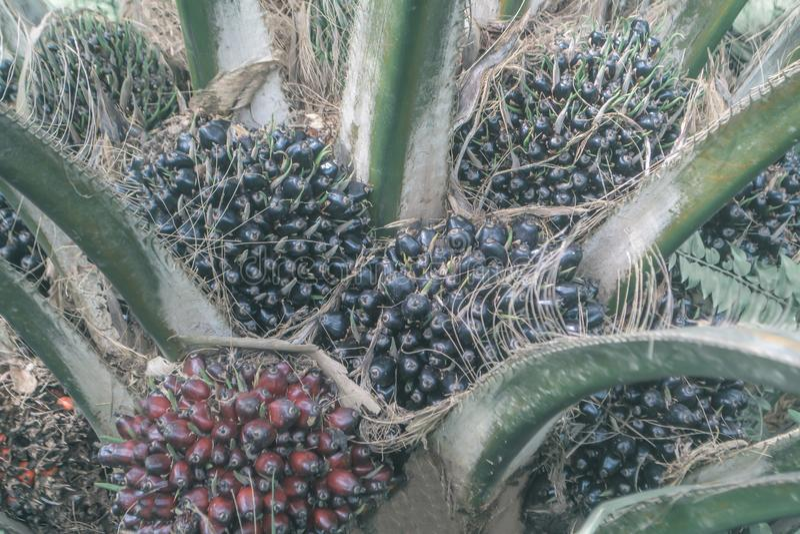 Pianta di economia della frutta della palma da olio, Tailandia fotografia stock