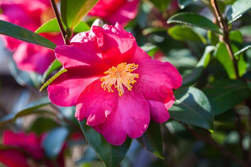 Pianta di fioritura della camelia con i fiori rossi vibranti, gli stami gialli e le foglie verdi immagine stock libera da diritti