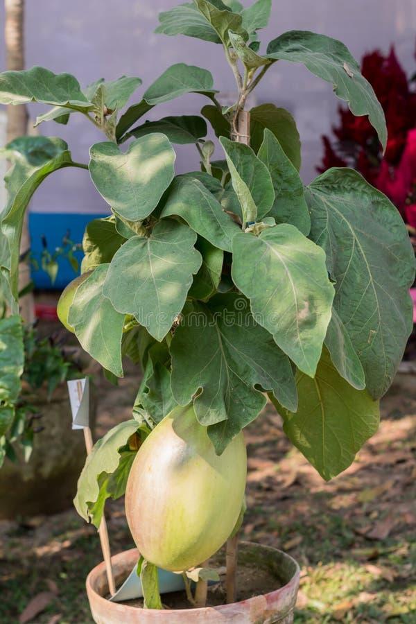 Pianta di fioritura della cucurbitacea di frutti delle zucche Appartiene alla famiglia come il Cucurbita ed al Lagenaria come le  immagini stock libere da diritti