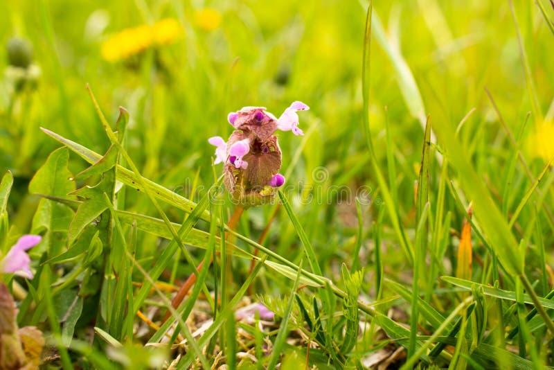 Pianta di fioritura della menta nel campo fra il primo piano dell'erba immagini stock libere da diritti