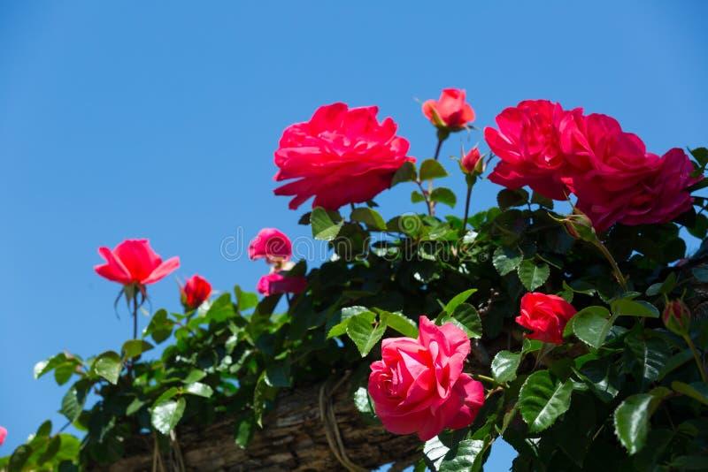 Download Pianta Di Fioritura Delle Rose Rosse Immagine Stock   Immagine Di  Floreale, Freschezza: