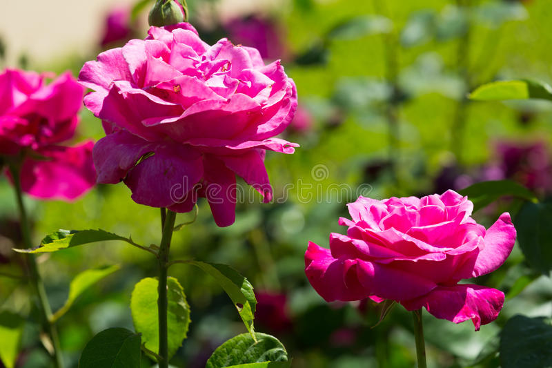 Download Pianta Di Fioritura Delle Rose Rosse Immagine Stock   Immagine Di  Sunlight, Nessuno:
